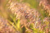 Dry Bromus inermis grass at sunset, selective focus on some bran — Stock Photo