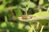 Brown dragonfly on a green leaf — Stock Photo