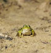 Head of green water frog (Rana lessonae) on the sand, close up,  — Stockfoto