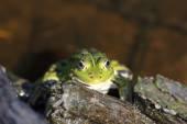Head of green water frog (Rana lessonae), close up, selective fo — Stockfoto