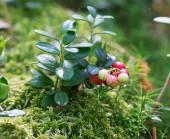 Unripe berry lingonberry (Vaccinium vitis-idaea) in the wild for — Stock Photo