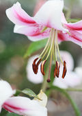 Pink lily (Lilium Acapulco) after the rain, selective focus on t — Стоковое фото