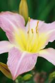 Pink lily (Lilium Acapulco) after the rain, selective focus on t — Stock Photo