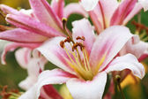 Pink lilies after the rain, selective focus on the stamens, macr — Stock Photo