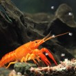 Mexican orange freshwater crayfish in the aquarium with with air — Stock Photo #67025991