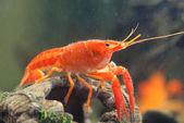Mexican orange freshwater crayfish in the aquarium, selective fo — Foto Stock