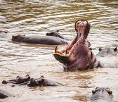 Hroch v bazénu hrochů — Stock fotografie