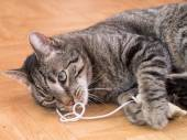 A grey striped cat plays with cat's toys — Stock Photo