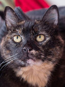 A tortoiseshell cat looks at the surroundings — Stock Photo