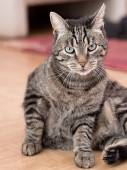 A grey striped cat plays in a flat — Stock Photo