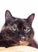 A tortoiseshell cat — Stock Photo