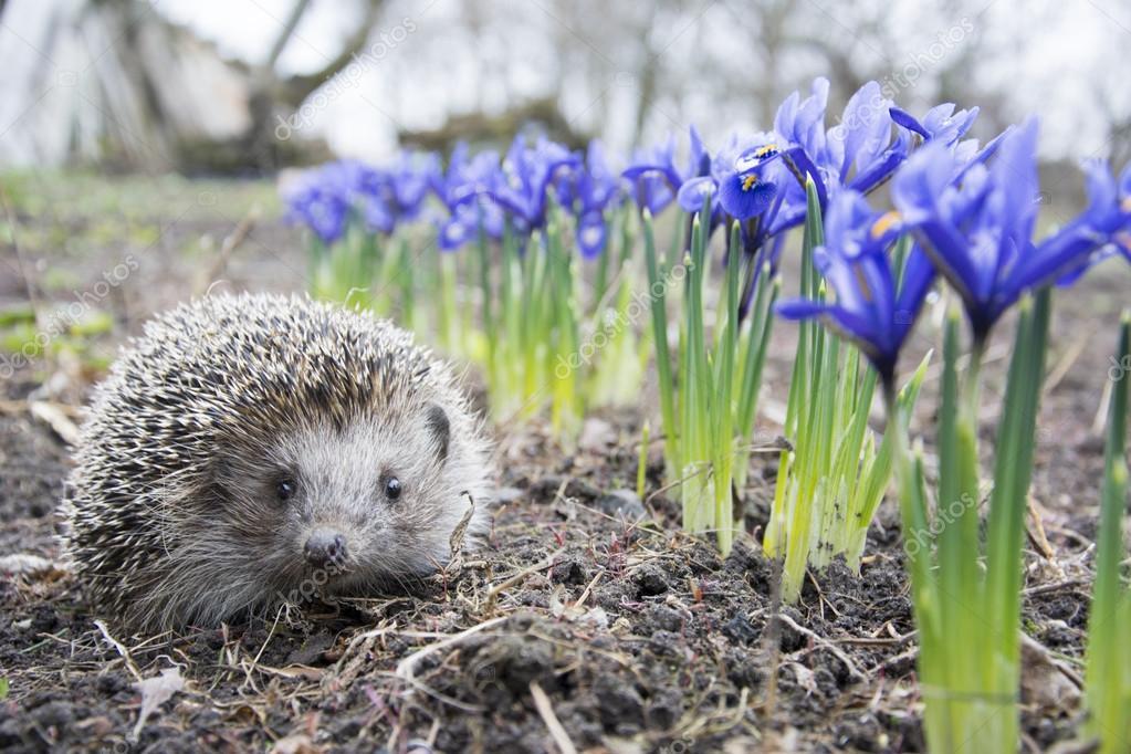 Еж весной картинки