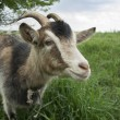 Goat. — Stock Photo #66096775