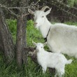 Spring near the bushes stands a goat with two young goats. — 图库照片 #66229059