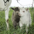 Spring near the bushes stands a goat with two young goats. — Stock Photo #66229813