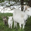 Spring near the bushes stands a goat with two young goats. — 图库照片 #66230329
