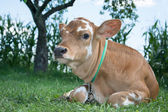 Little spotted calf lying on the grass. — Stock Photo
