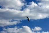 Seagull flying against a blue background and clouds neby — Stock Photo