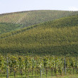 Vineyards on the hills of Langhe — Stock Photo #55524911