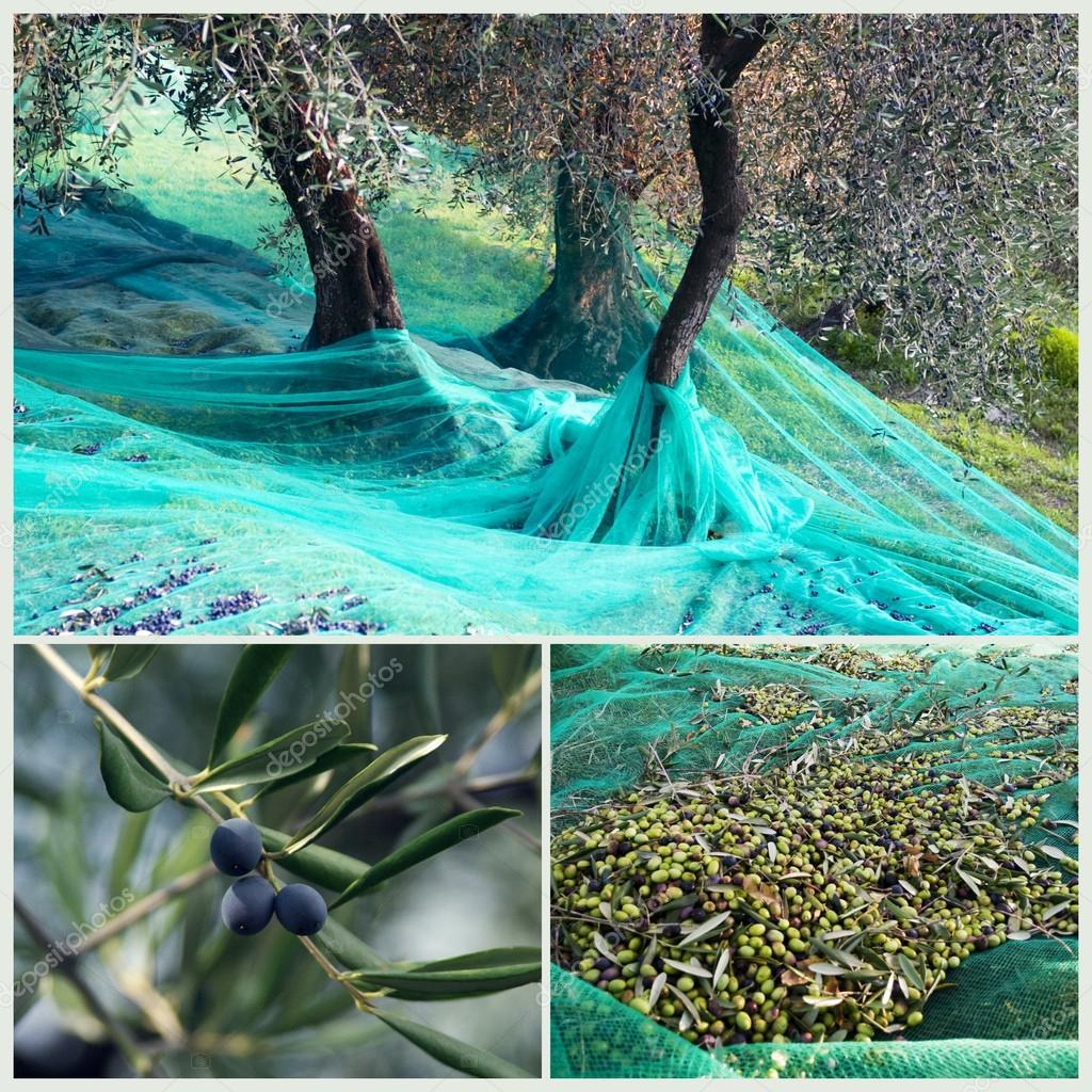 Harvest Time In Olive Garden Stock Po Surkovdimitri 55894581