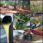 Olive harvesting — Stock Photo