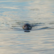 Grey Seal — Stock Photo #57370971