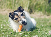 Dog eating a carrot — Stock Photo