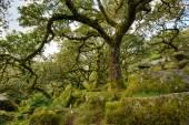 Wistman's Wood on Dartmoor — Stock Photo