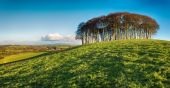 Stand of Beech Trees — Stock Photo