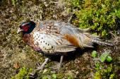 Wild Pheasant — Stock Photo