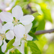 Постер, плакат: Beautiful spring flowers white apple blossoms in garden outdor