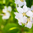 ������, ������: Beautiful spring flowers white apple blossoms in garden outdor