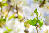 Beautiful spring flowers,  white apple blossoms in garden outdor — Foto de Stock