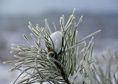 Frost on pine-tree — Stock Photo