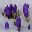Crocuses in snow — Stock Photo #67998393