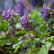 Corydalis blossom — Stock Photo #68772783