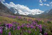 Primula bloom in mountains — Stock Photo