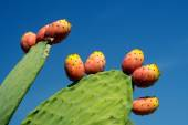 Prickly pear with fruits — Stock Photo