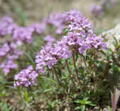 Thyme in bloom — Stock Photo