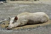 Swine in puddle — Stock Photo