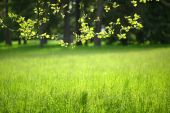 Linden branch on a background of green nature — Stock Photo