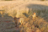 Cheetahs, Namibia — Stock Photo