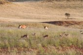 Oryx and springbok in the wildlife, Namibia — Stock Photo