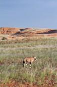 Oryx, Namibia — Stock Photo