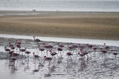 Red flamingos — Stock Photo