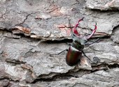 Stag beetle on tree trunk — Stock Photo