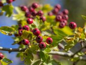 The rowan in the autumn — Стоковое фото