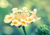 Lantana flower, cross processed — Stock Photo