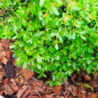 Green plant from top view — Stock Photo #69329197