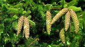 Borové šišky na větvích v době zrání, osvětlena t — Stock fotografie